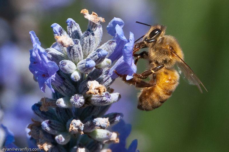 LiHD bee + Lavender-1-2
