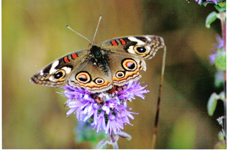 Junonia coenia - Buckeye on wildflower 0001