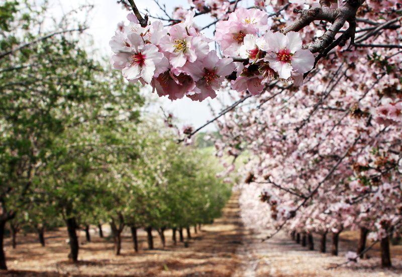 Blooming-almond-trees_Opachevsky-Irina_shutterstock