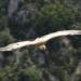14-Gorges des Verdon griffon vulture