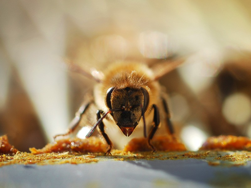 Honey-bee_nicole-watson_shutterstock-blog