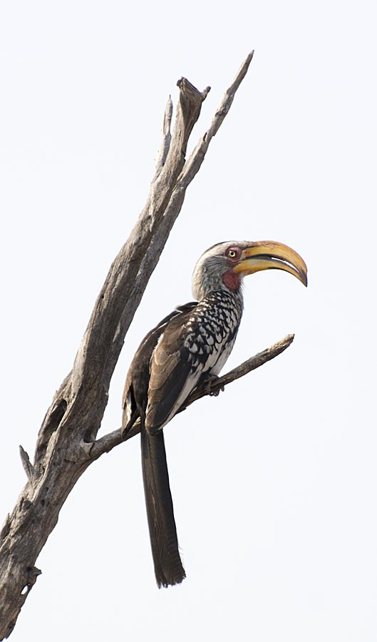 12-Hwange yellow billed hornbill (flying banana)