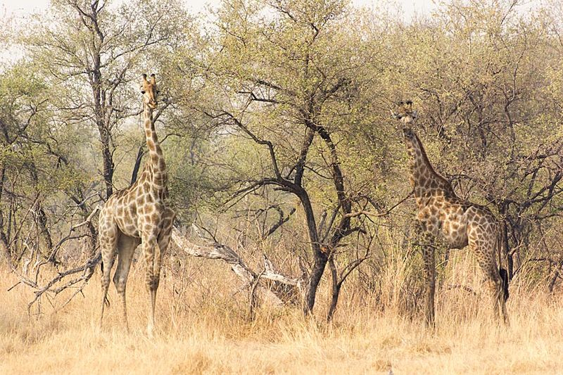 13-Hwange giraffes