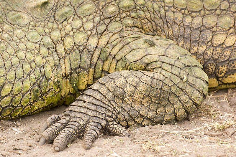 16-Hwange crocodile