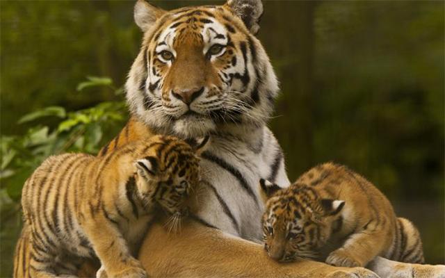 Greenlife-tigers