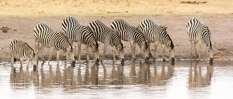 11-Hwange zebras