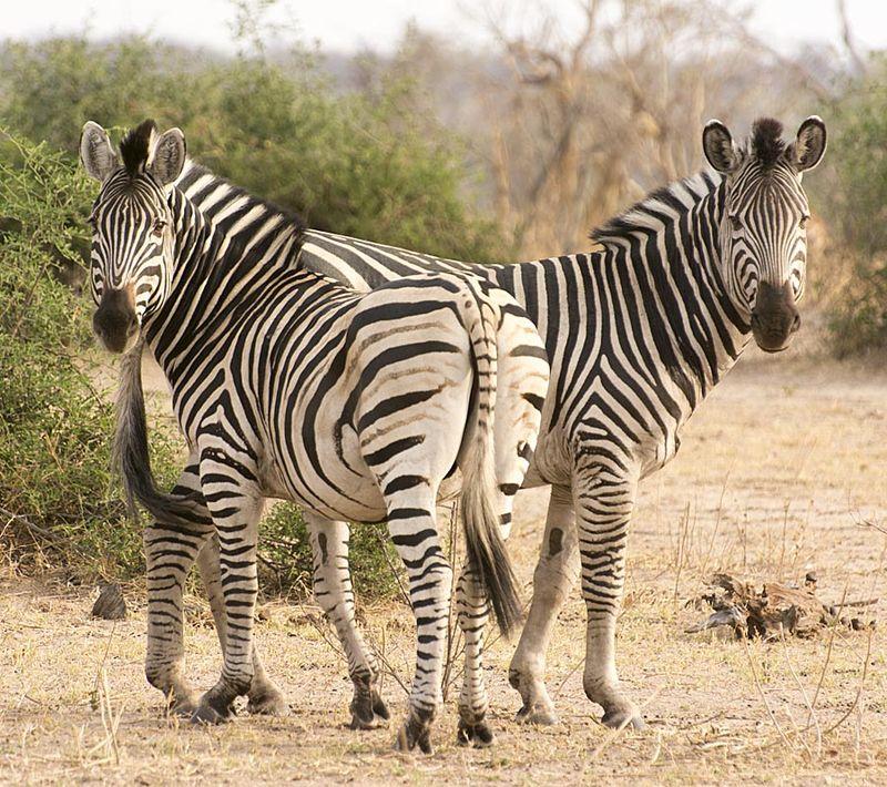 4-Chobe zebras