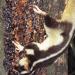 Striped Possum at Lake Eacham Rainforest