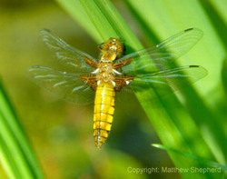 Broadbodied_chaser_for_web