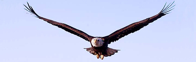 Bald_eagle_fly