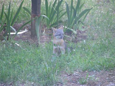 Fox_visitor