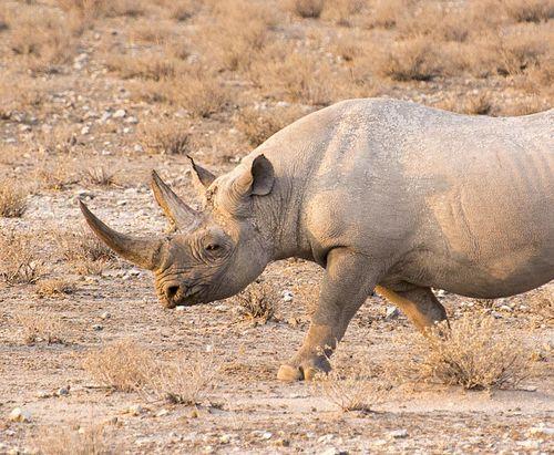 16-Etosha rhinoceros