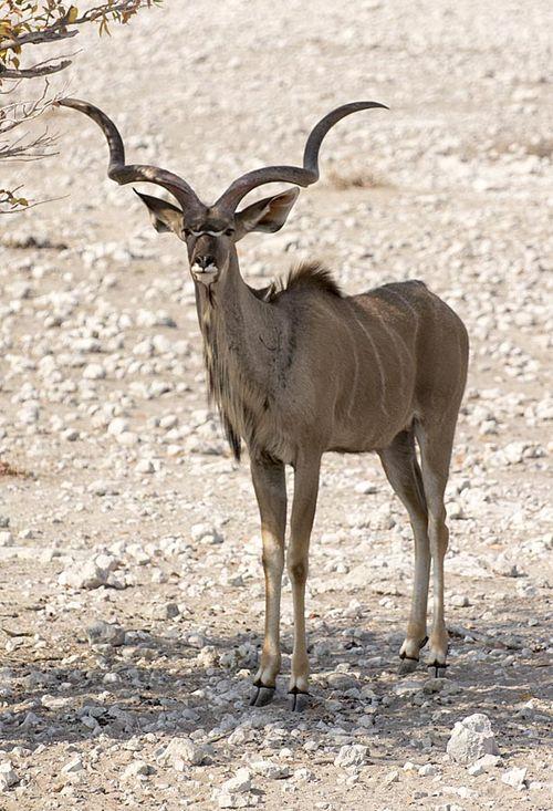 17-Etosha kudu