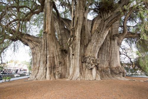 Mexico 18 Oaxaca Tule  world's largest tree