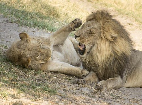 12-Savuti lions