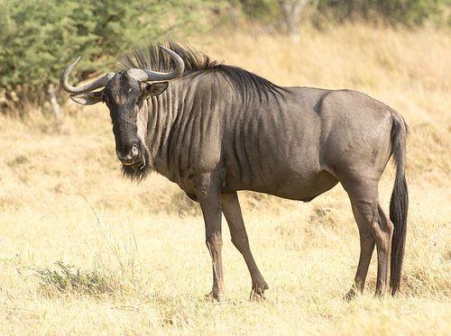 14-Chobe wildebeest
