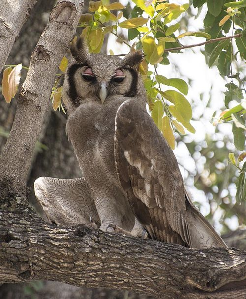 15-African giant owl