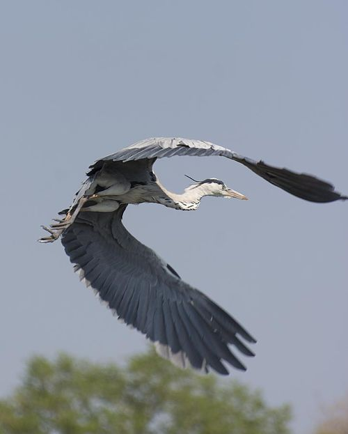 26-great blue heron