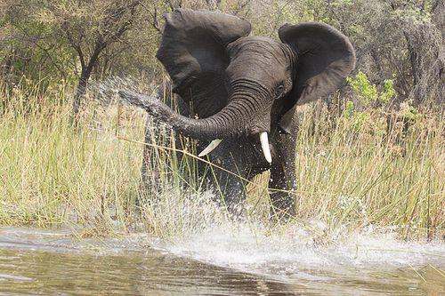 27-Okavango elephant