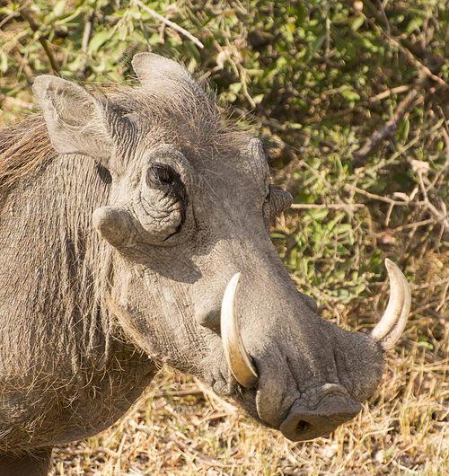 5-warthog