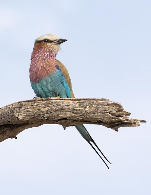 9-Lilac breasted roller
